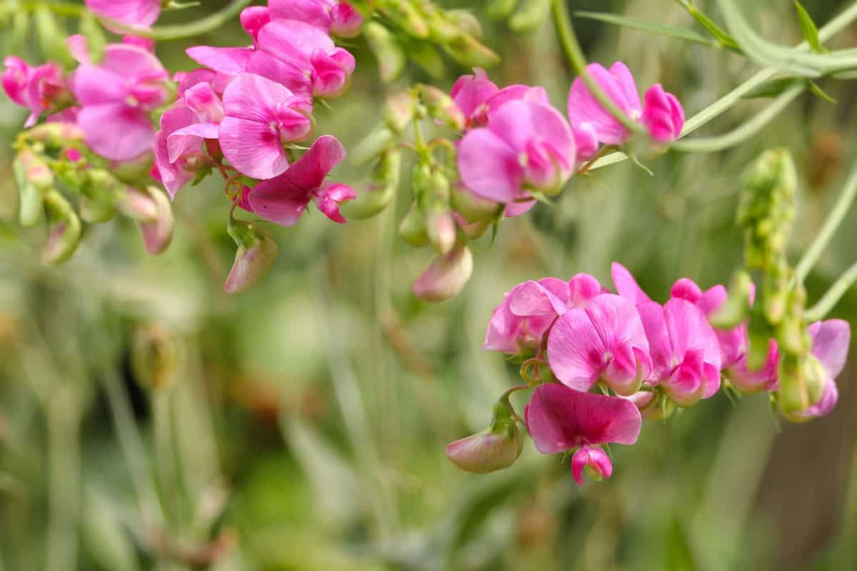 the sweet pea is easy to grow in full sun