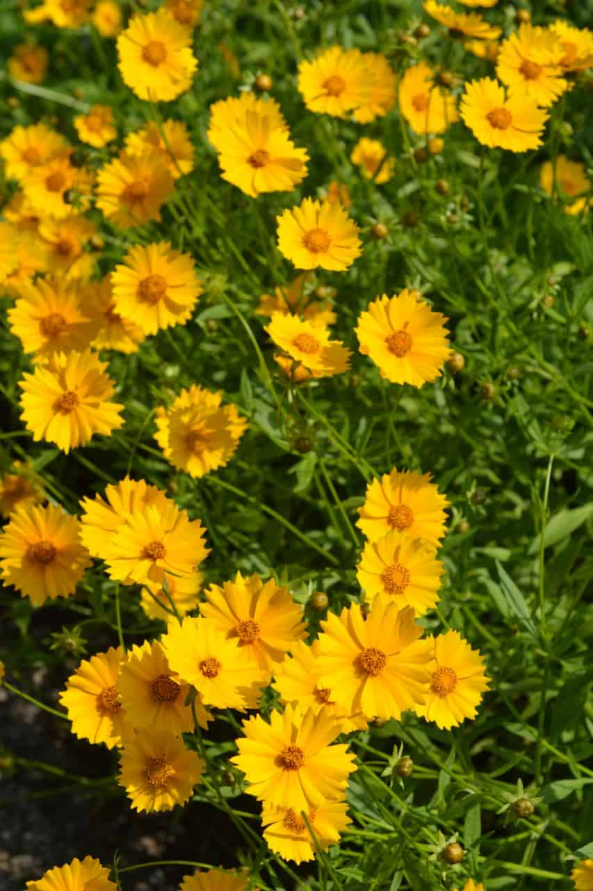 tickseed offers long-lasting blooms