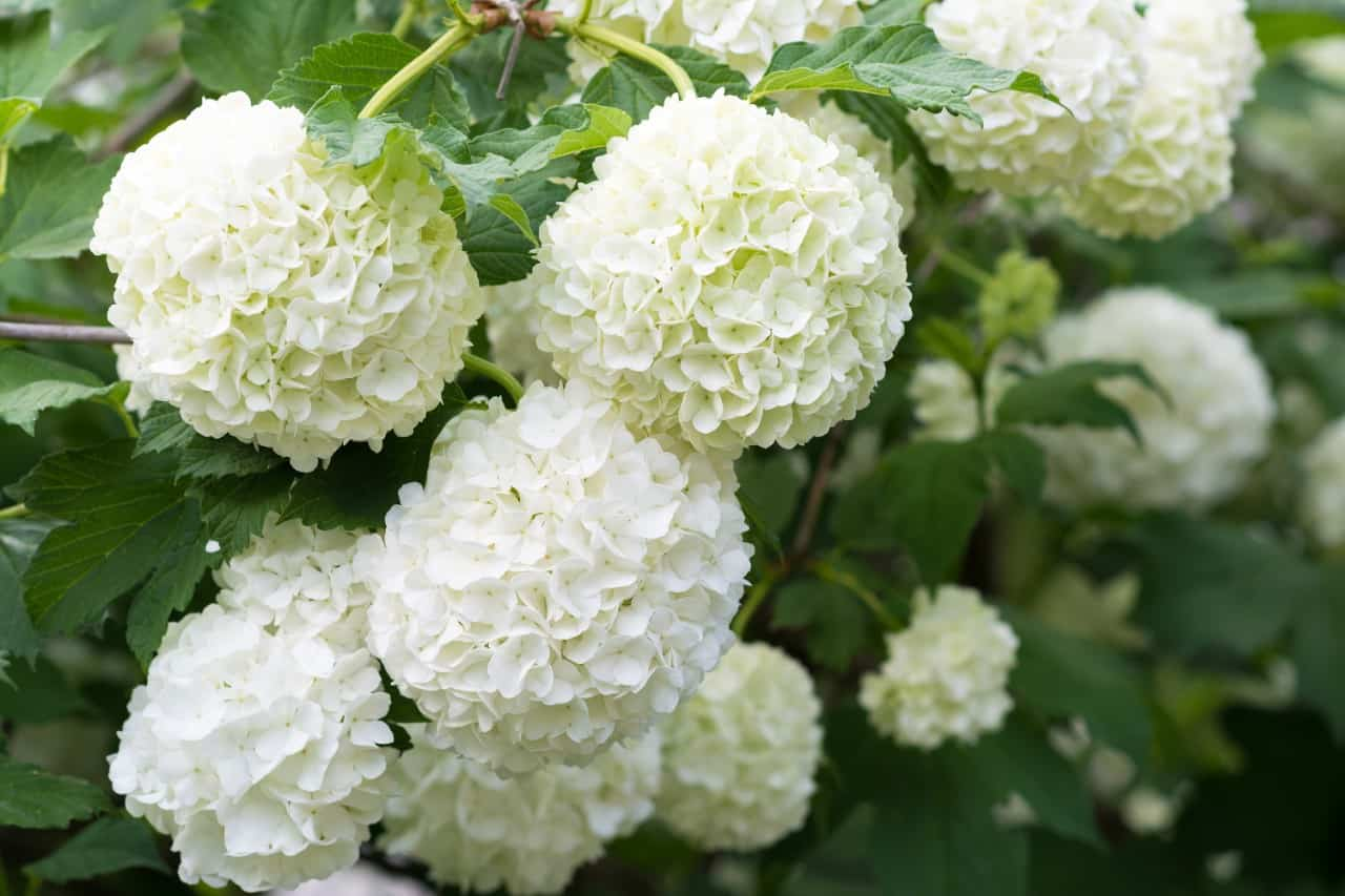 you have many options for planting viburnum
