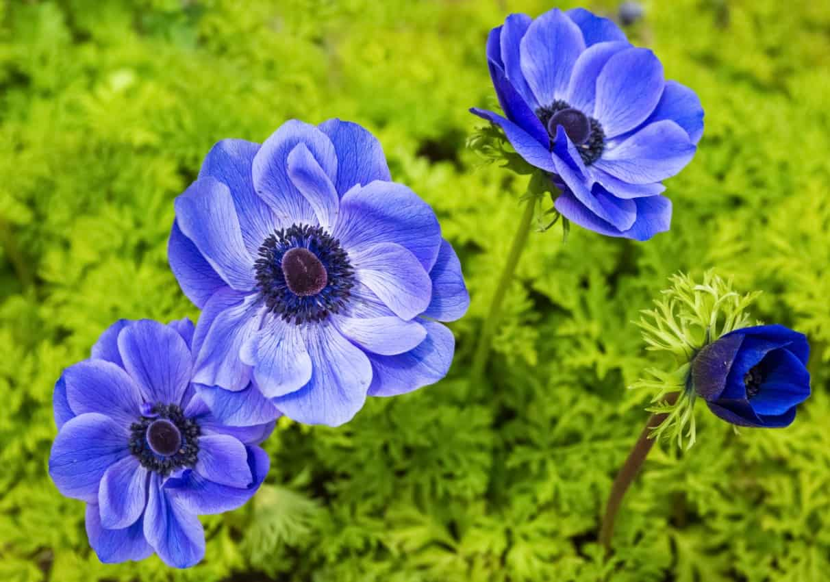 the windflower or anemone is a long-stemmed perennial