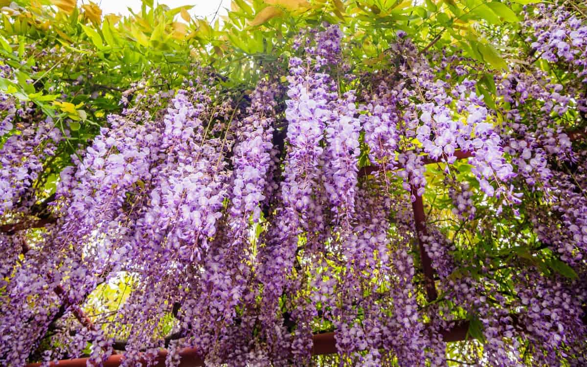 wisteria is a woody perennial
