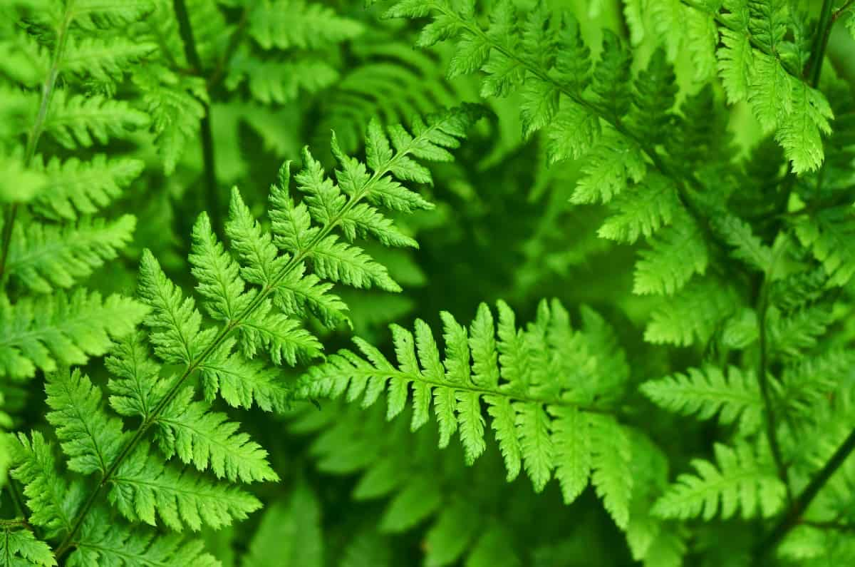 wood ferns are excellent plants to fill empty shady areas