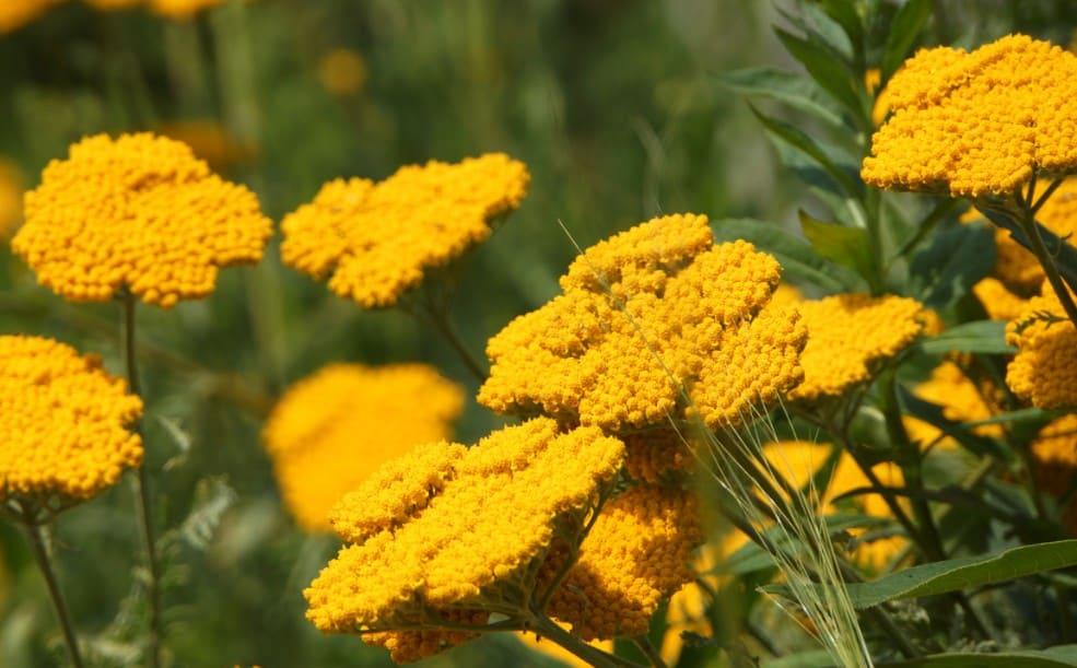 Yarrow is a classic wildflower