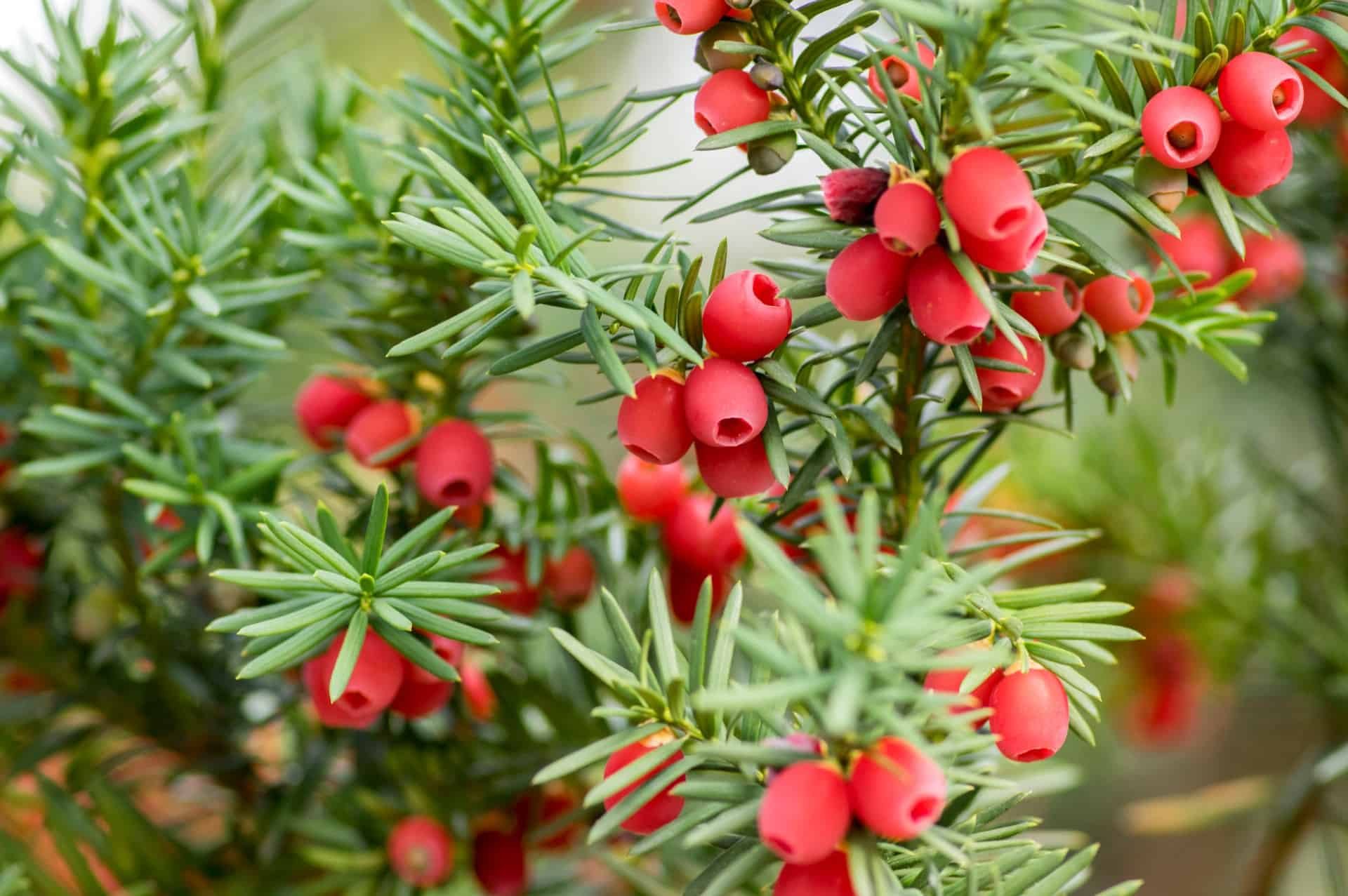 yew is a extremely long-lived tree