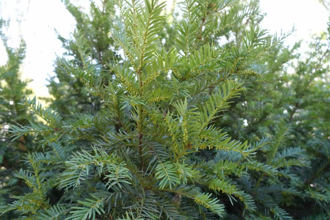 the yew is a long-lived plant with berries birds love