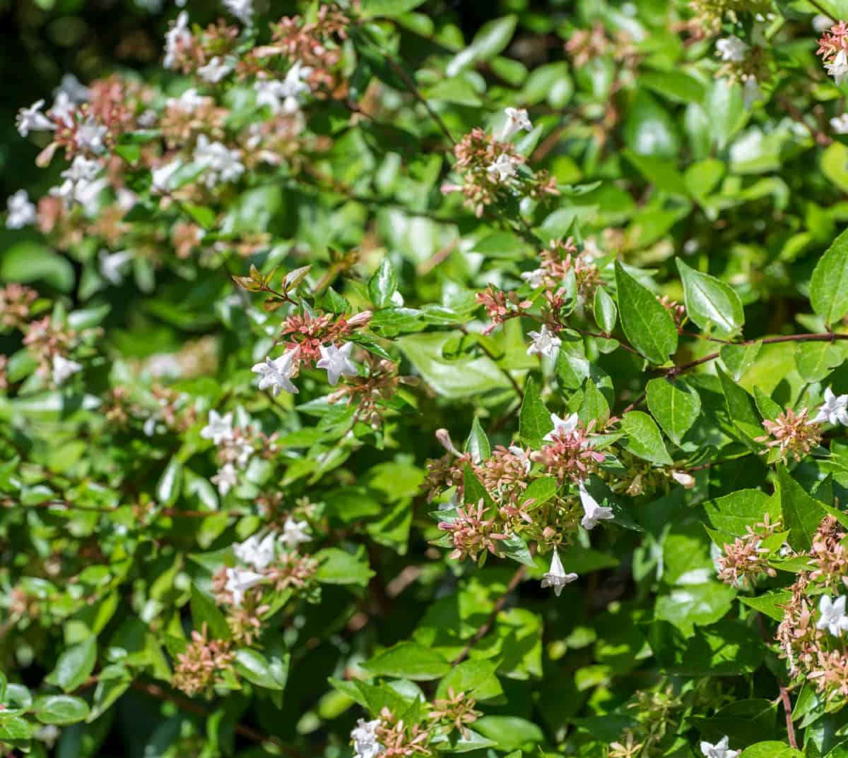 the abelia is a beautifully arching bush