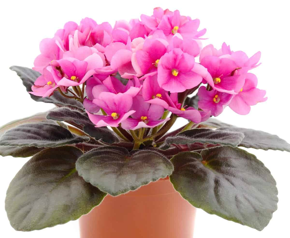 African violets are easy to grow as long as they have well-draining soil