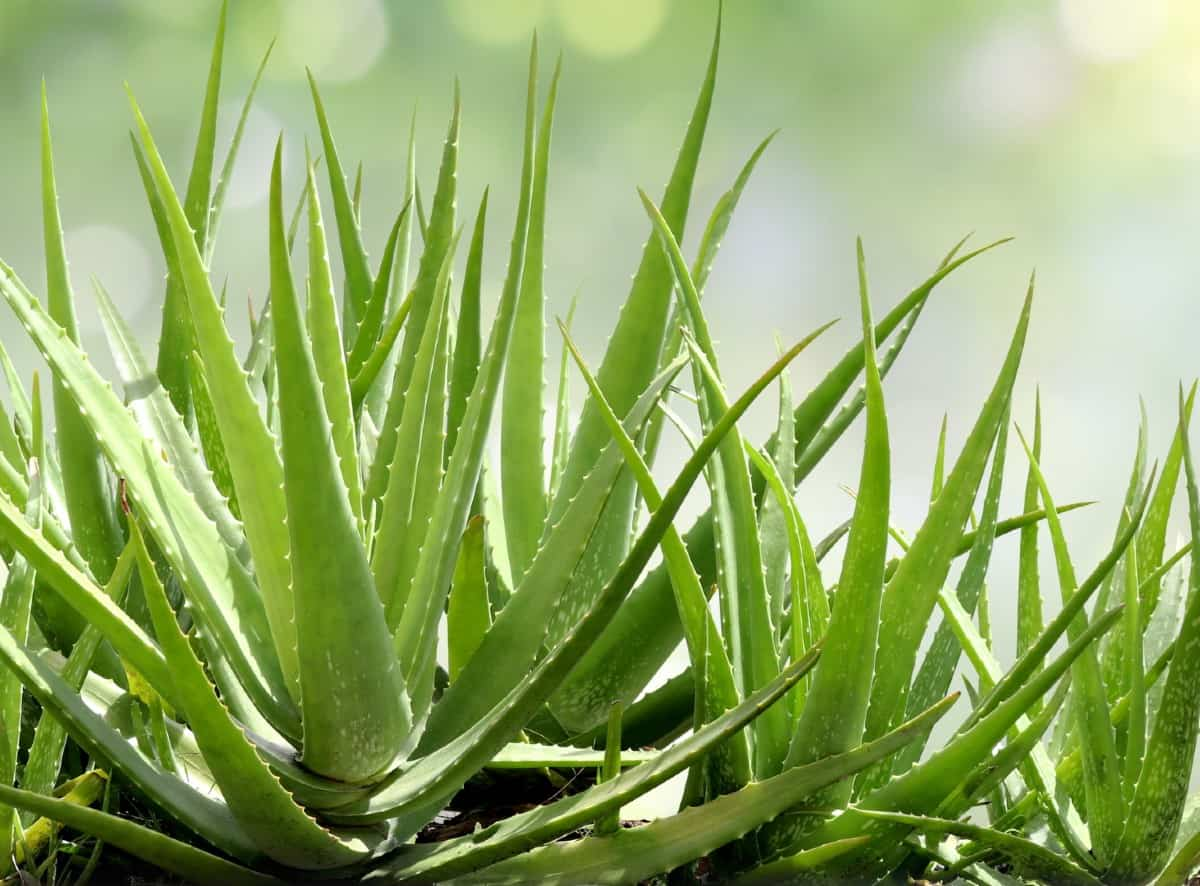 snip off a piece of an aloe vera leaf and rub the gel on a cut or burn for instant relief