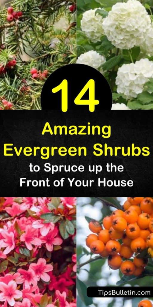 Discover low maintenance hardy shrubs you can use for foundation planting or ground cover. From hydrangea to azaleas, learn what shrubs require full sun to partial shade to ensure green leaves all season long. #shrubs #evergreenshrubs #evergreens