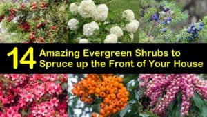 Amazing Evergreen Shrubs for the Front of Your House titleimg1