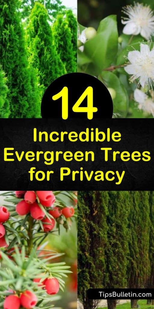 Discover how to use low maintenance privacy trees to create a privacy fence and natural windbreak around your yard. Use full sun trees such as the green giant thuja, Leyland cypress, and emerald green arborvitae to create a natural border. #privacytrees #naturalprivacyfence #privacyevergreentrees