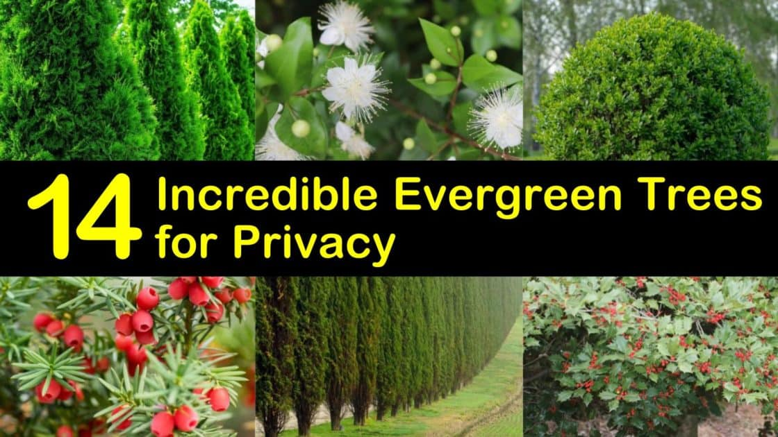 14 Incredible Evergreen Trees for Privacy