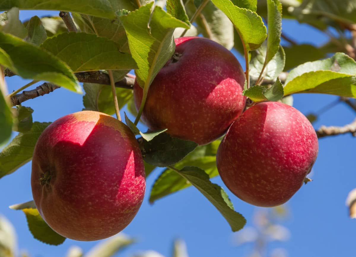 you can only grow apple trees in areas with a specific climate