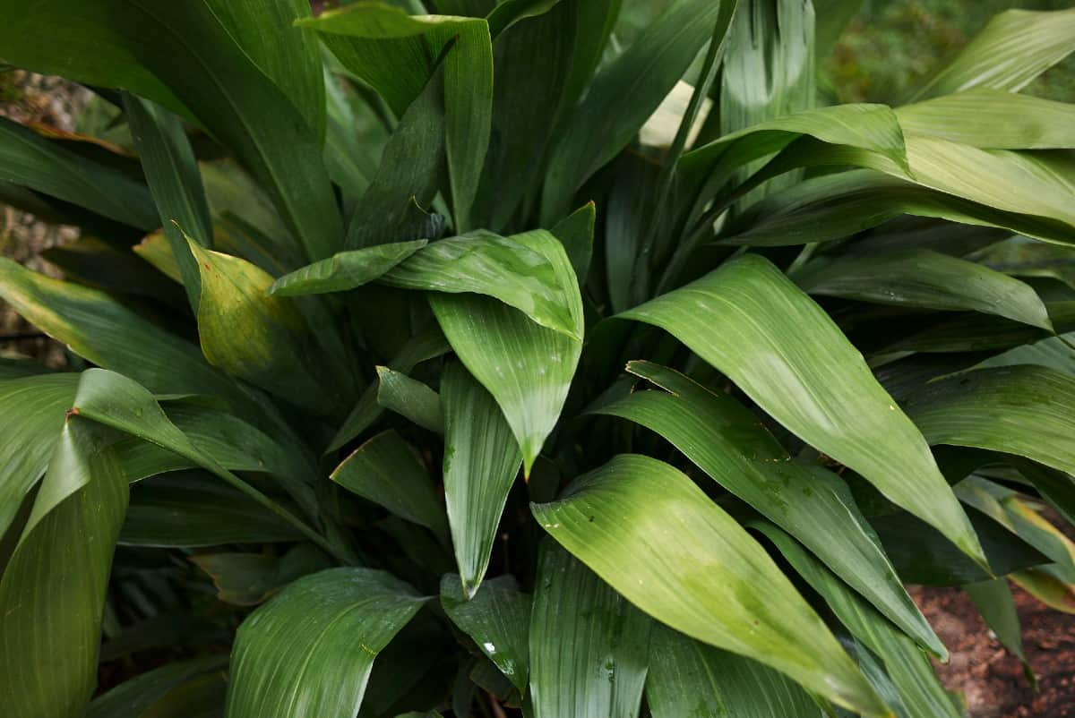 aspidistra is also known as the cast iron plant