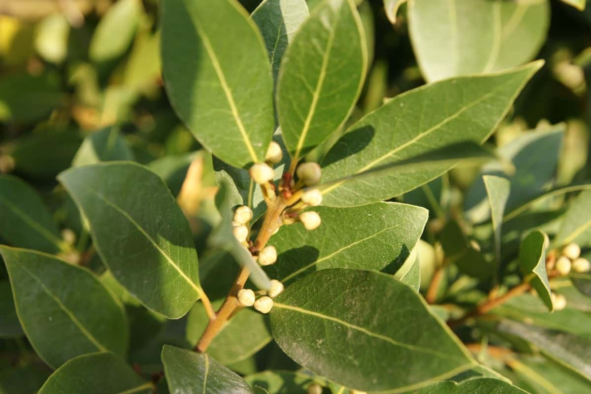 the leaves of the bay laurel are aromatic and used in soups and stews