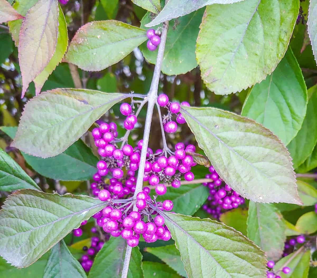 beautyberry is a shrub with attractive flowers and berries