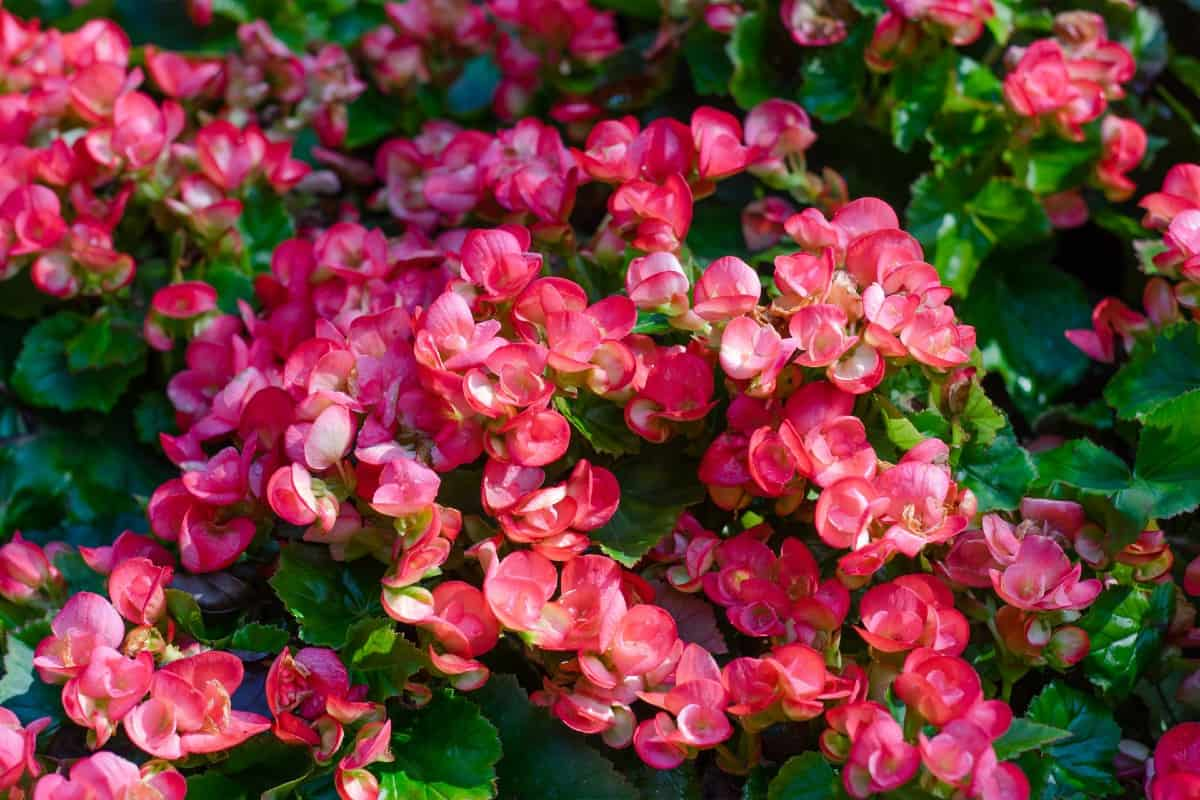 put begonias in the shade for the best blooms