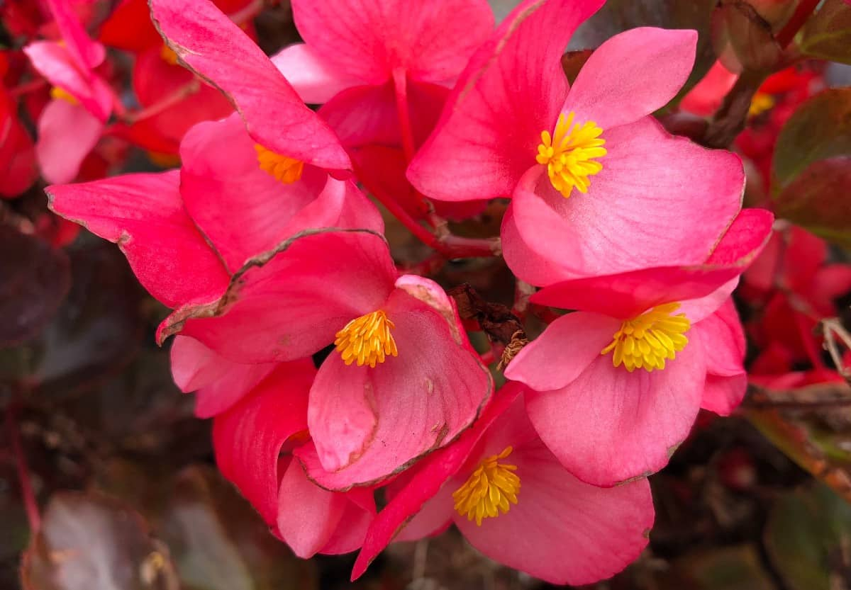 begonias work perfectly as flowering potted plants