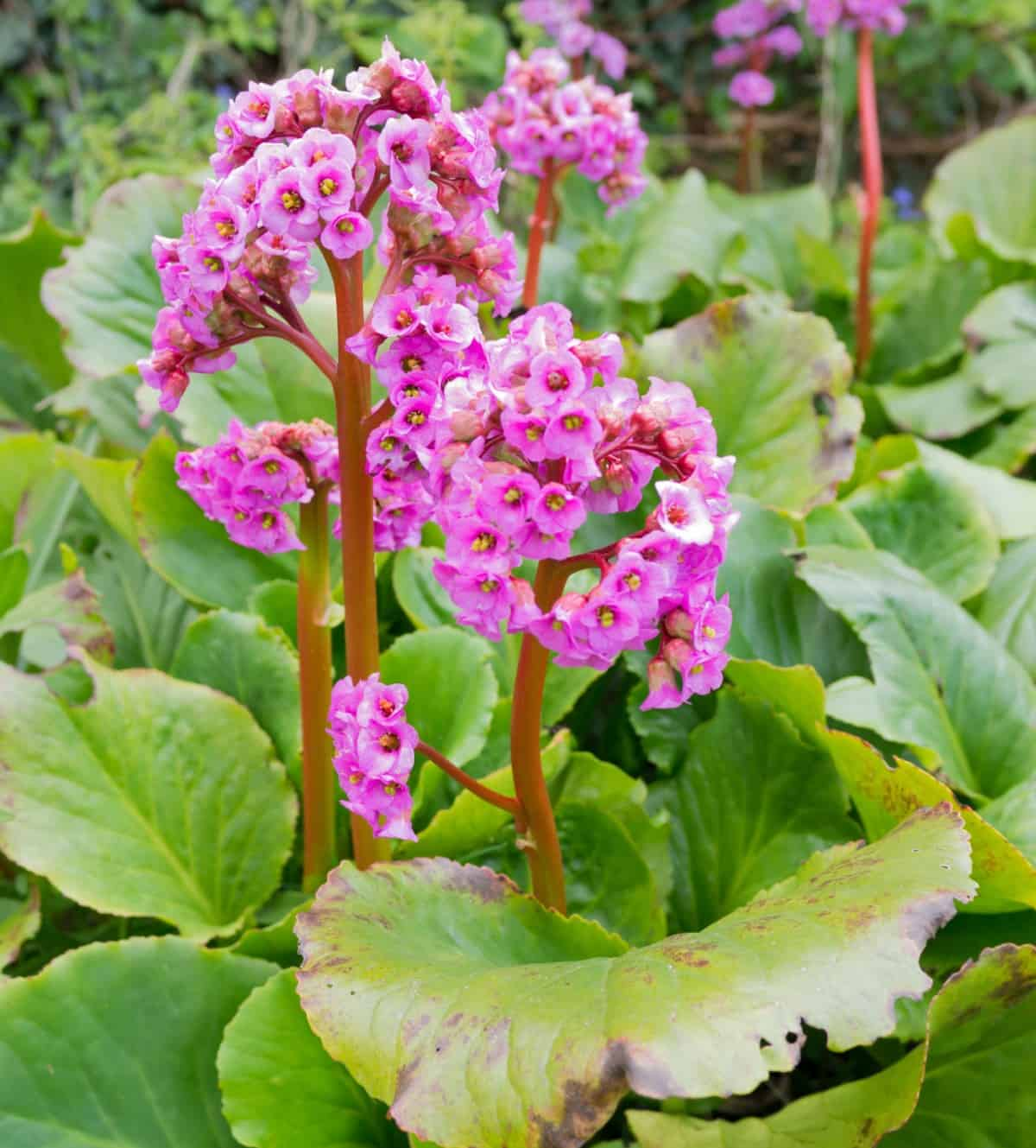 bergenia is an easy-to-grow evergreen plant