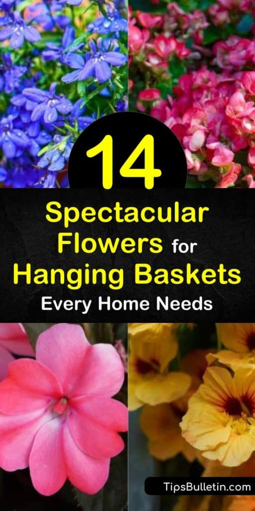 Discover the best flowers for hanging baskets, such as Sweet Alyssum, Lobelia, or Impatiens. Learn how to take care of your hanging plants, like watering your geraniums or calibrachoa. Try any of these amazing vine plants and flowers inside your home or porches. #best #flowers #hanging #baskets