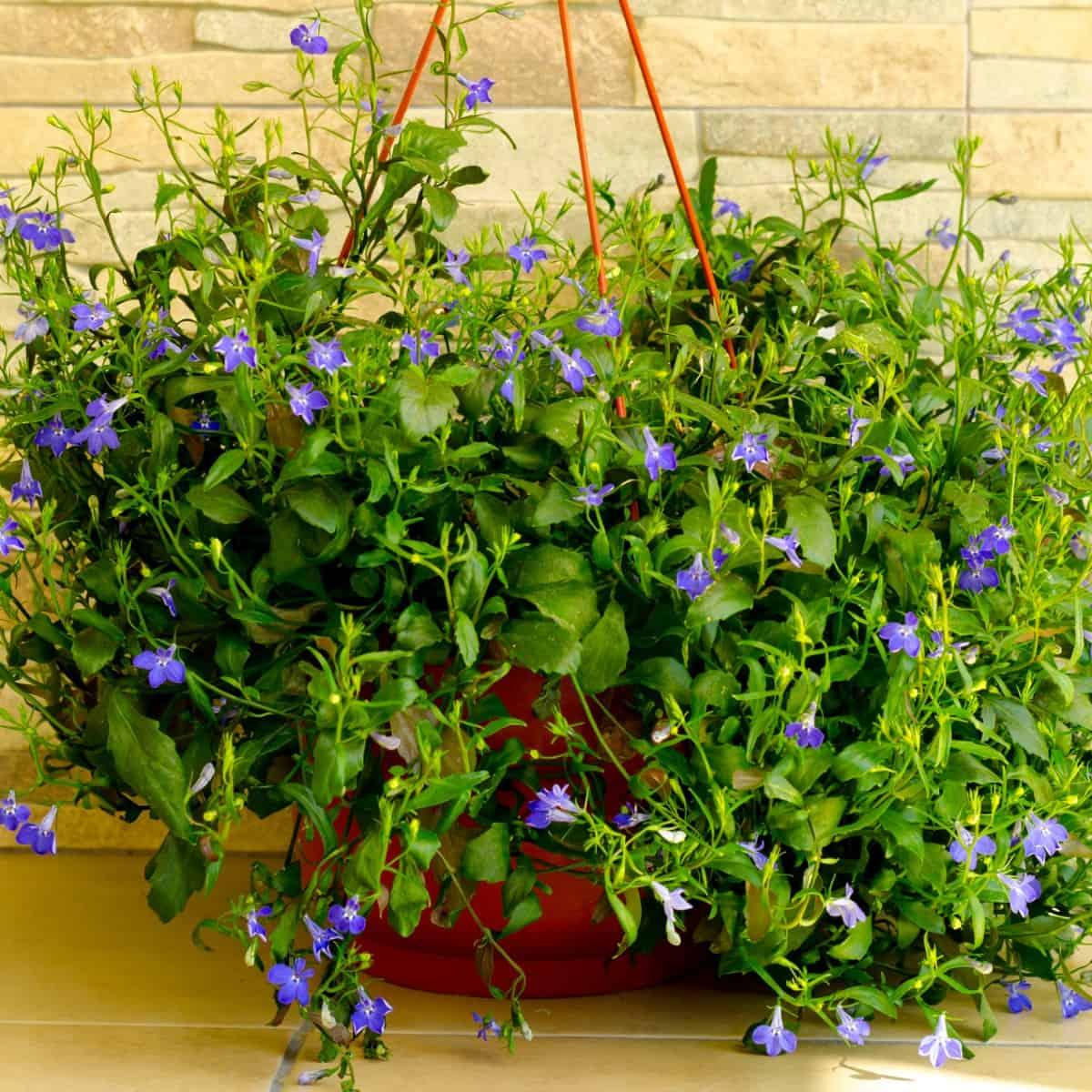 blue lobelia has attractive long-blooming blue flowers