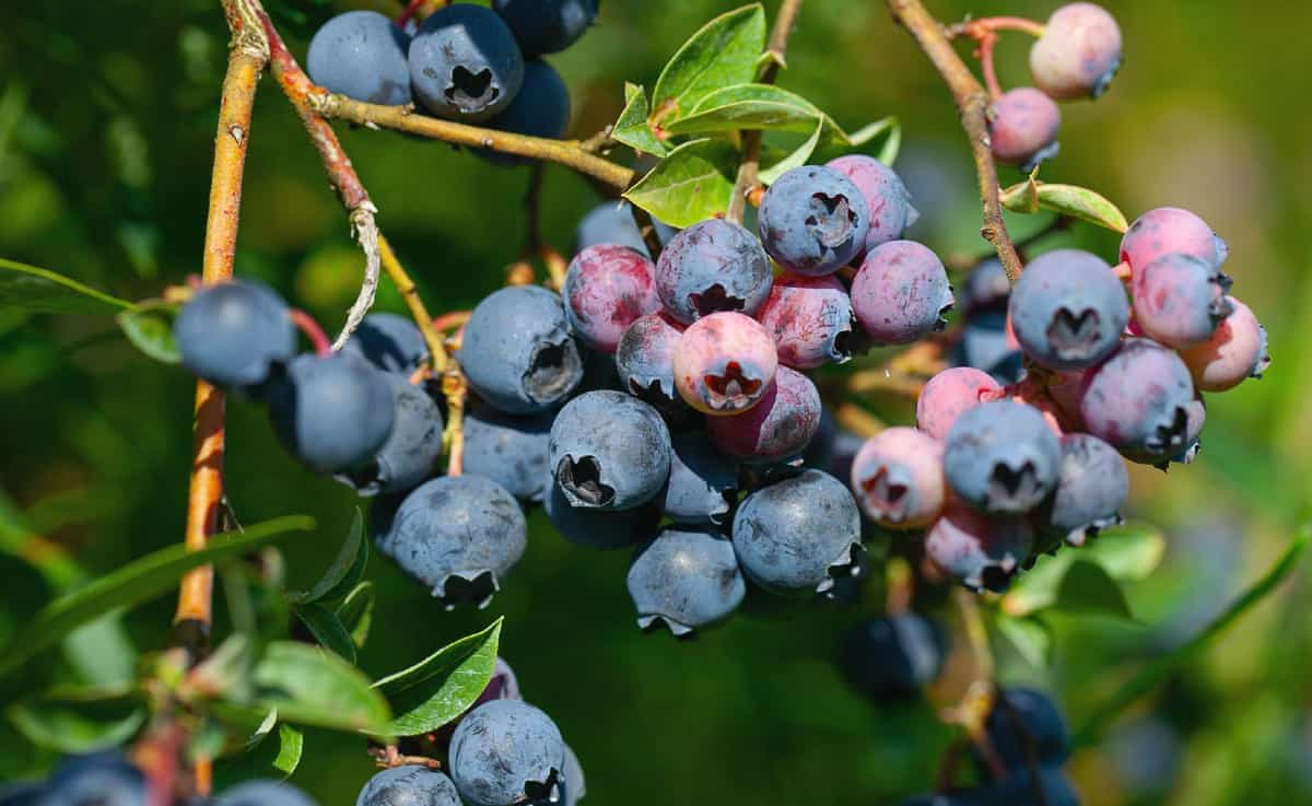 while most blueberries grow on bushes, the Japanese blueberry grows on a tree