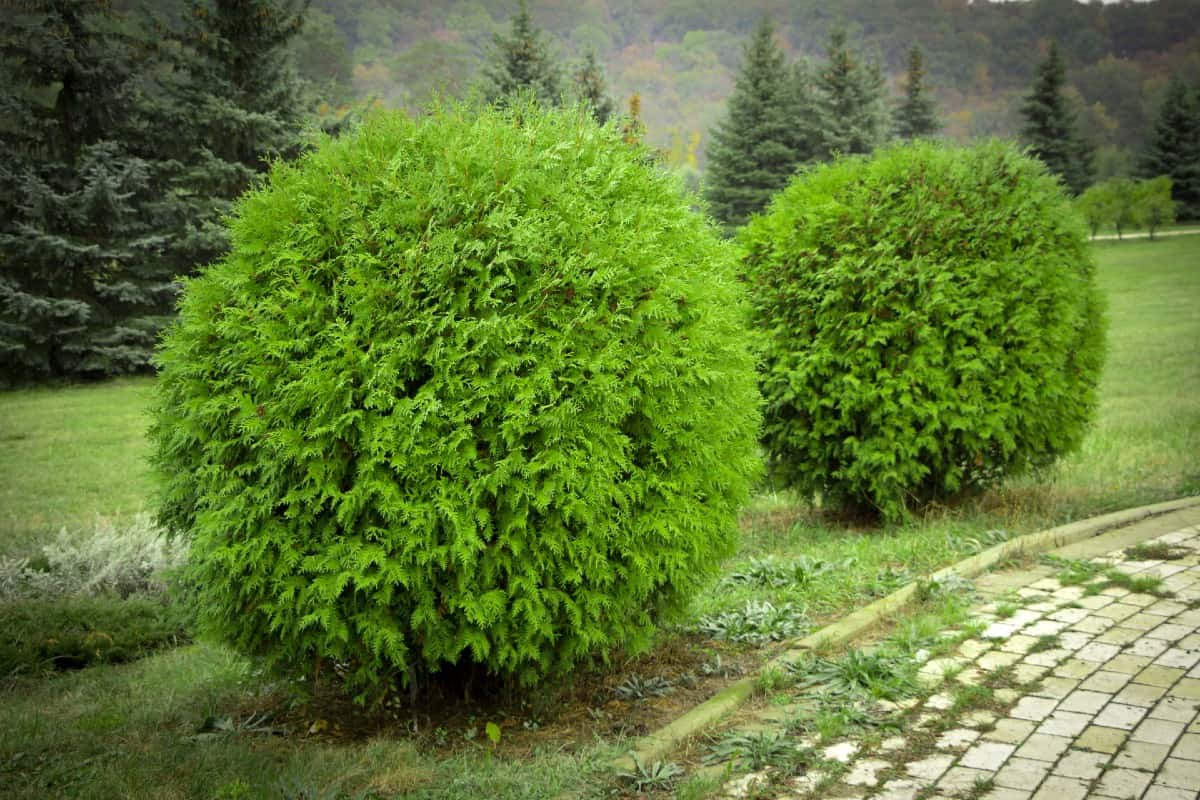 bowling ball arborvitae is an evergreen that really makes a statement in the landscape