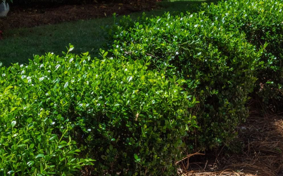 boxwoods are easily pruned into the shape of your choice