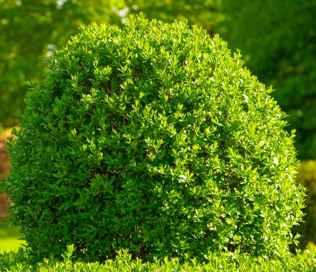 you can prune the boxwood into all different kinds of shapes