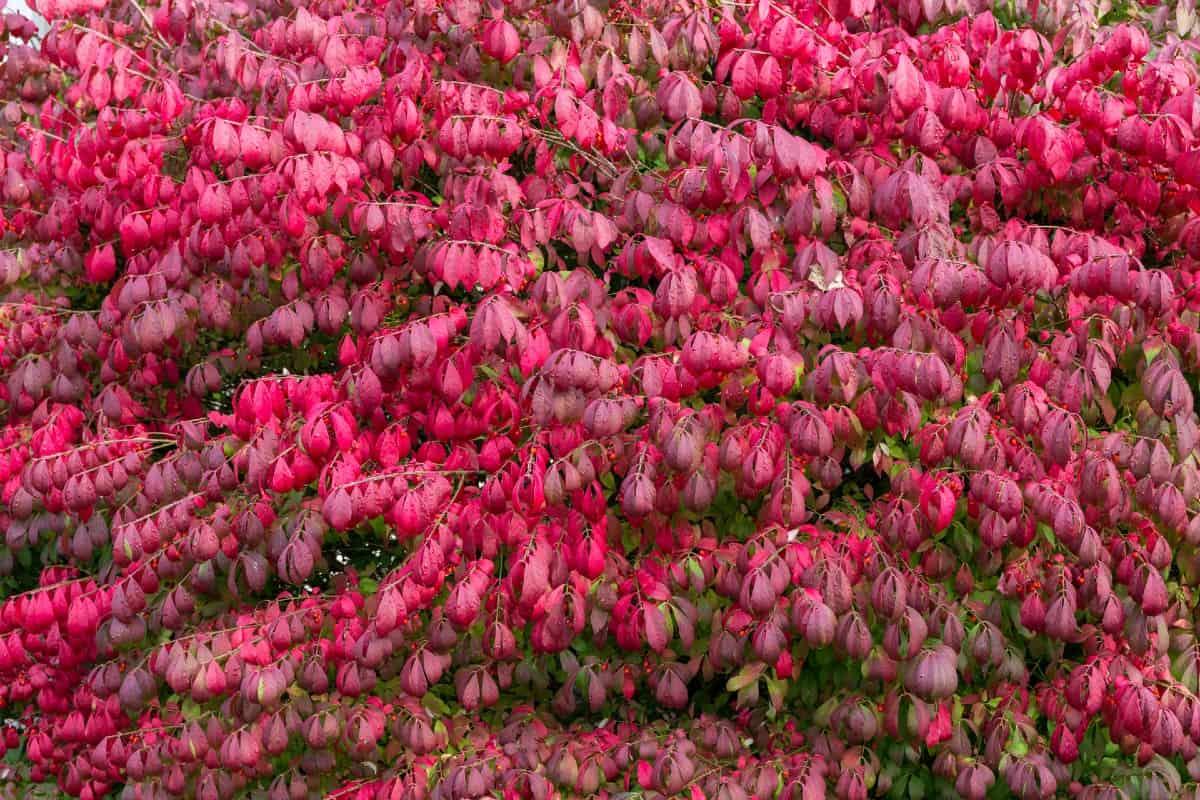 burning bush is the most popular euonymus shrub