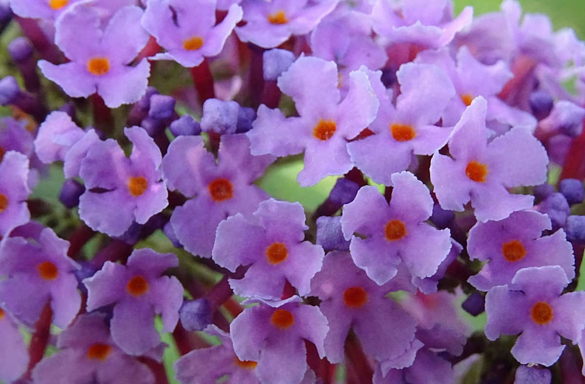 The butterfly bush not only adds privacy but also attracts beneficial pollinators.