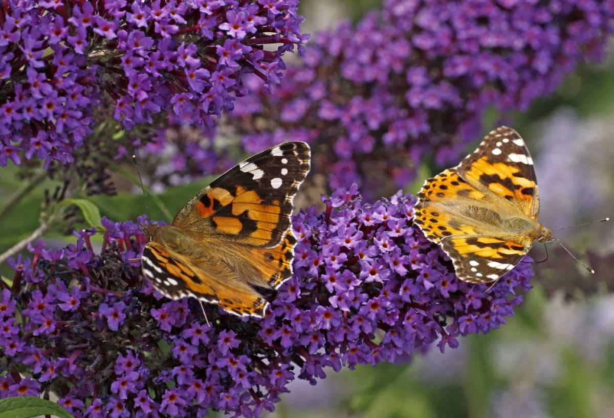 the butterfly bush is a magnet for all kinds of pollinators