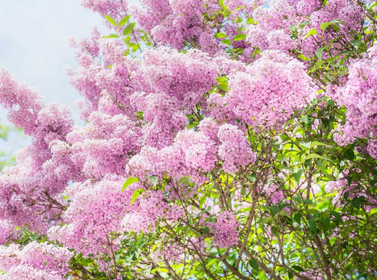 the California lilac makes an excellent windbreak
