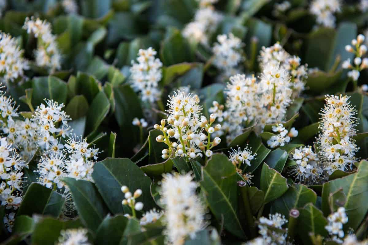 cherry laurel has pretty red berries and sweet-smelling flowers