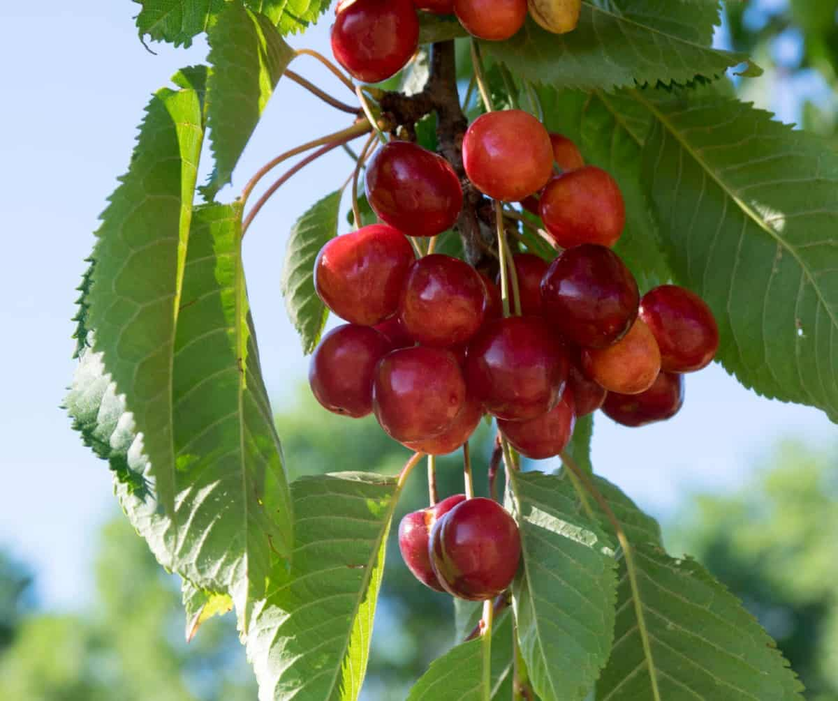 a cherry tree is quite low-maintenance