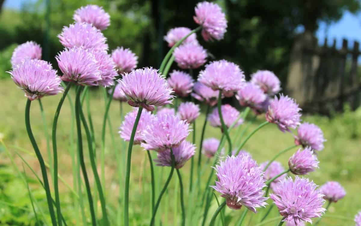 chives have edible flowers