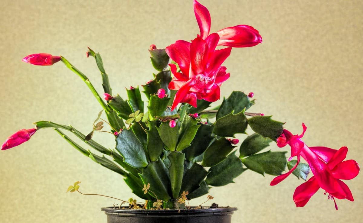 the Christmas cactus loves to be neglected and likes a humid environment