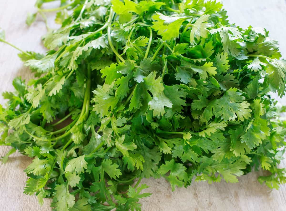 both the seeds and leaves of cilantro can be eaten