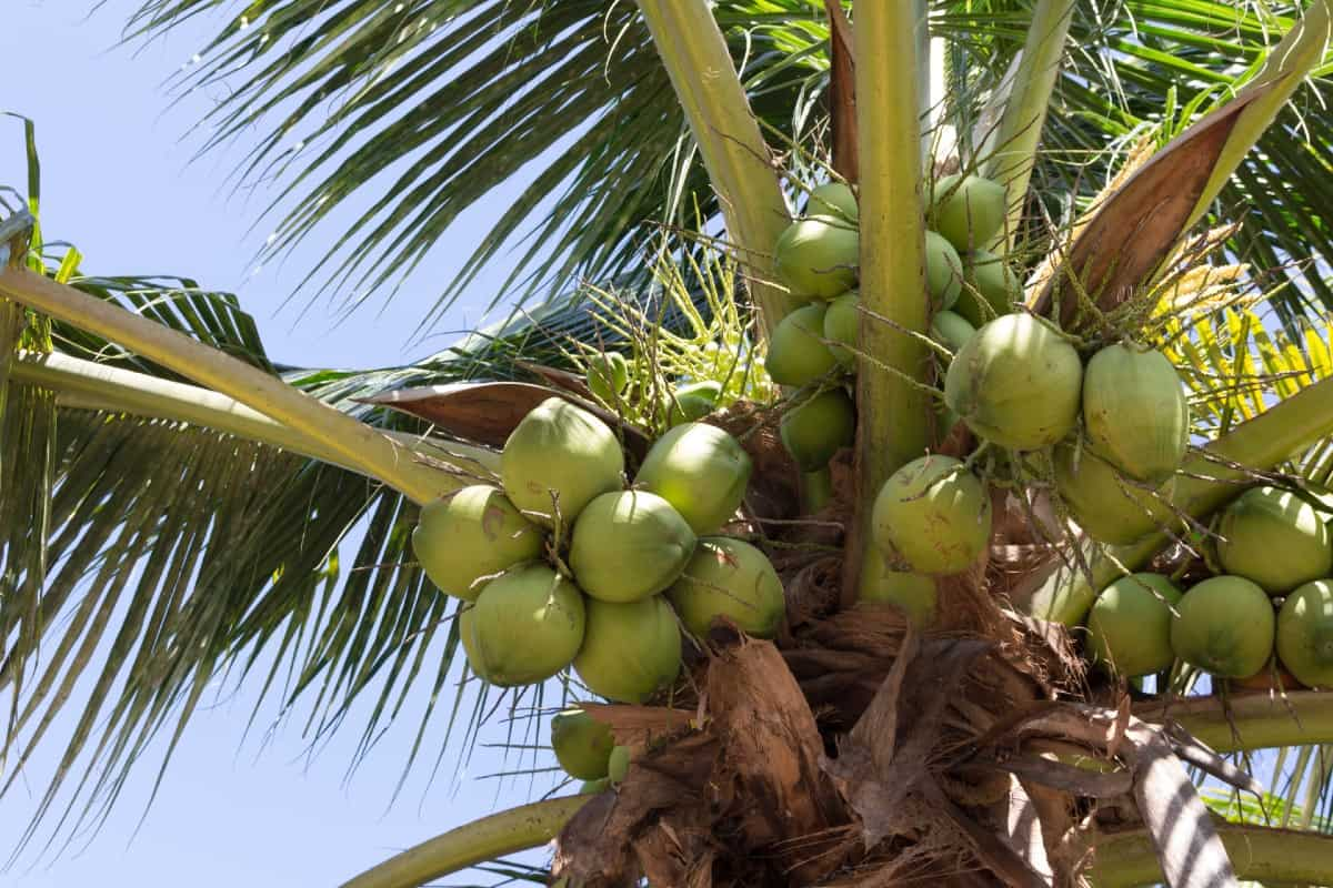 a coconut tree can grow up to 90 feet tall