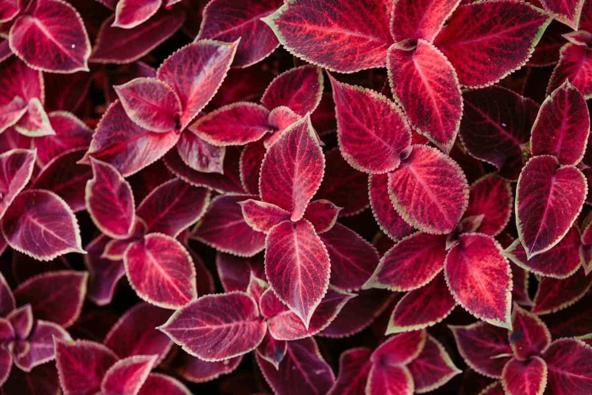 coleus has very attractive foliage