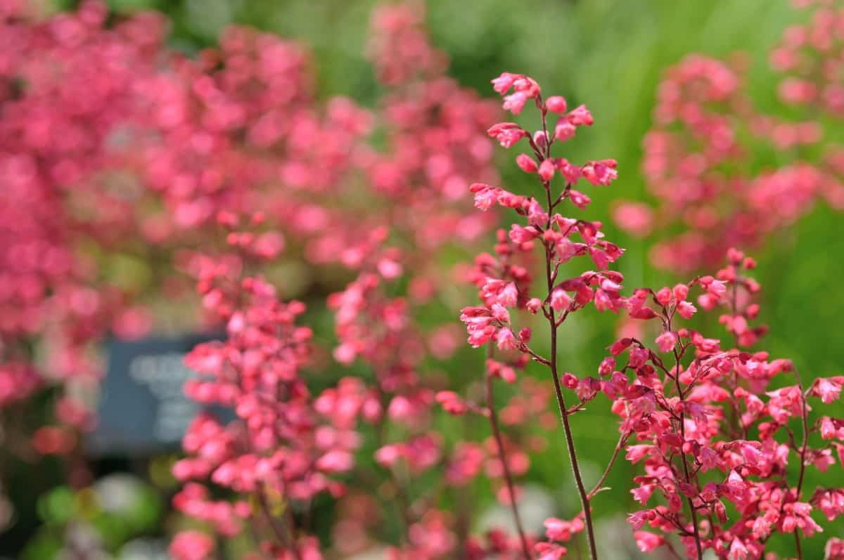 coral bells have attractive tiny flowers and showy leaves