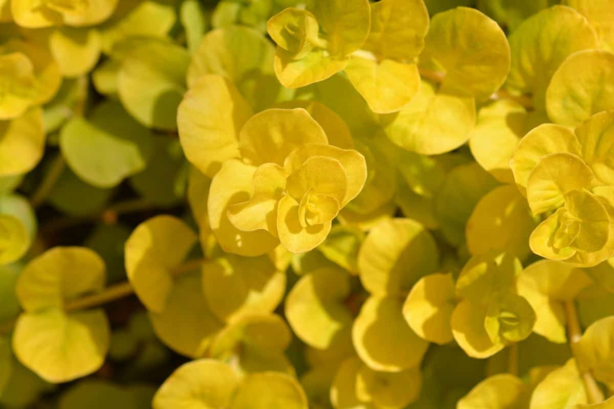 creeping Jenny is well-known for trailing over containers or window boxes