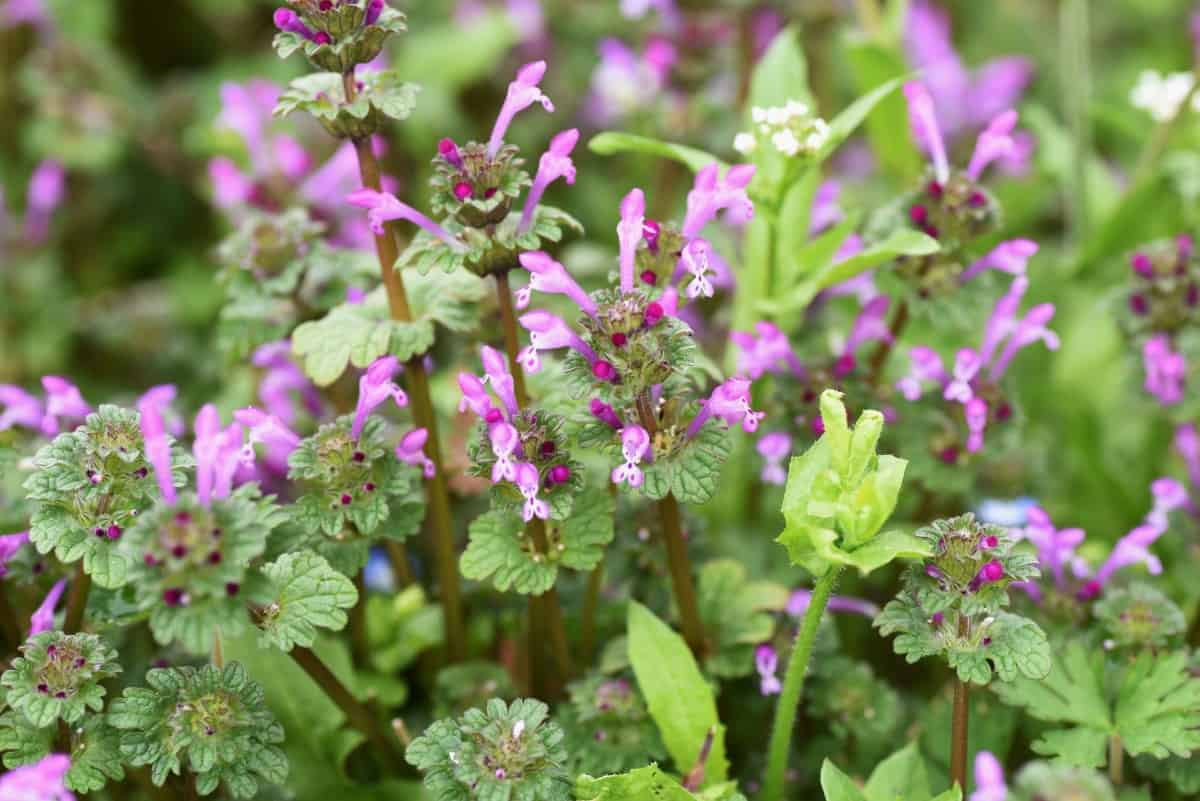deadnettle is the perfect ground cover for shady areas