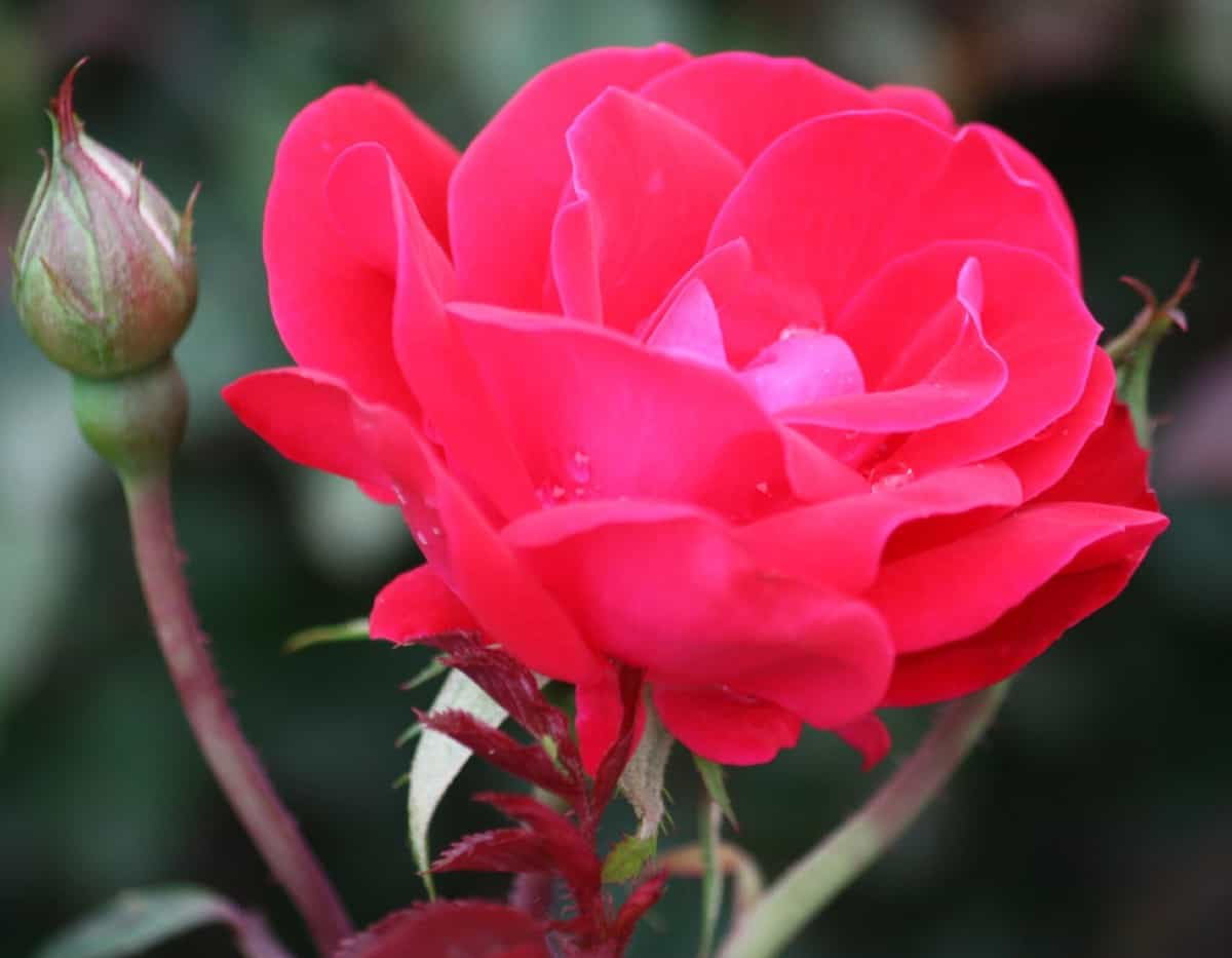 the double knock out rose blooms continuously during the growing season
