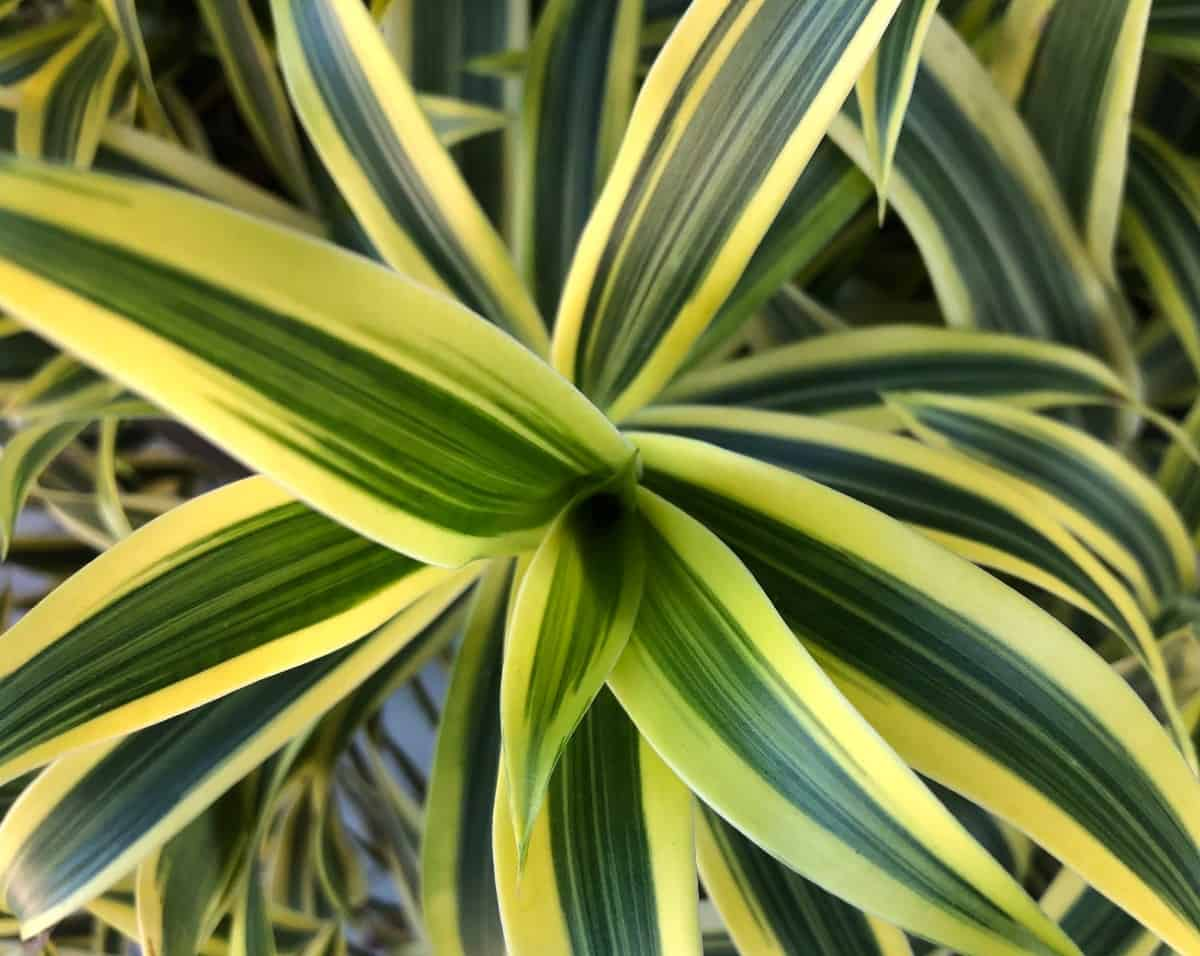 dracaena is a popular, low-maintenance houseplant