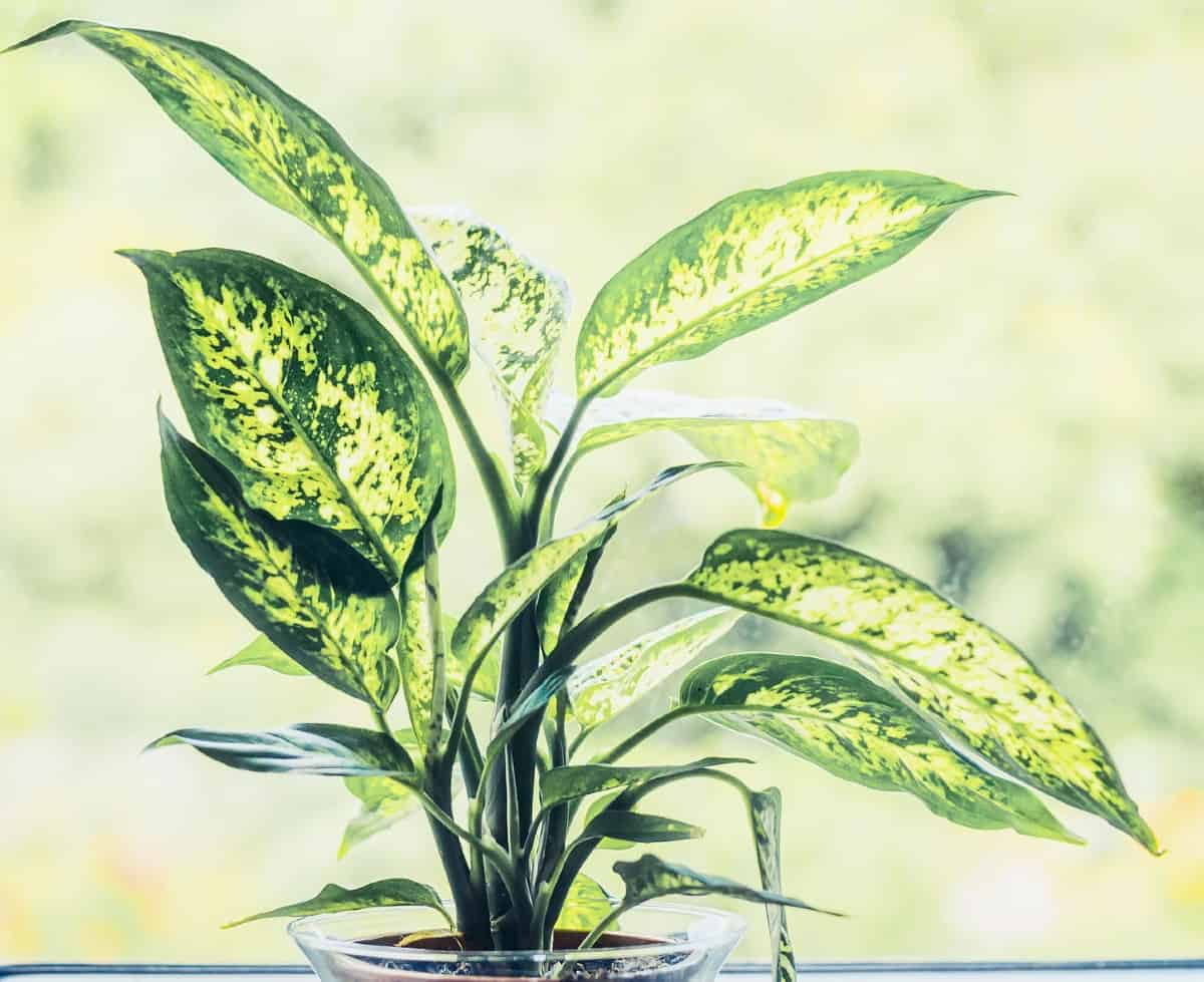 dumb cane offers lovely variegated leaves