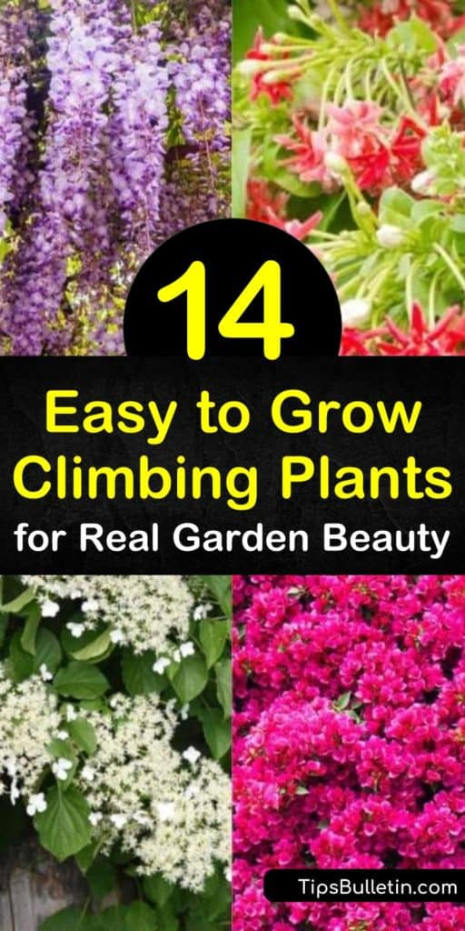 Fill your yard with easy growing climbing plants such as morning glory, virginia creeper, or honeysuckle for summer flowers. Plant climbing roses or a trumpet vine in full sun along a trellis to create a living structure of beauty. #easytogrowclimbingplants #vines #climbingplants