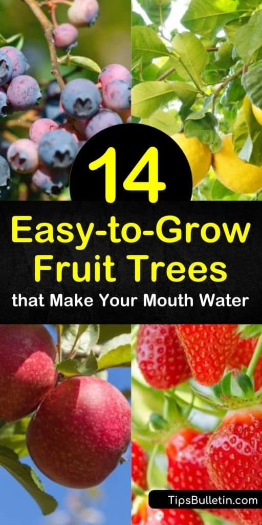 Find easy to grow fruit trees for any size backyard. Grow fruit trees like apricots, lemons, and pear trees with low-maintenance requirements and easily accessible branches. Learn which plants need fertilizer, which prefer warmer climates, and which are self-pollinators. #easy #grow #fruit #trees