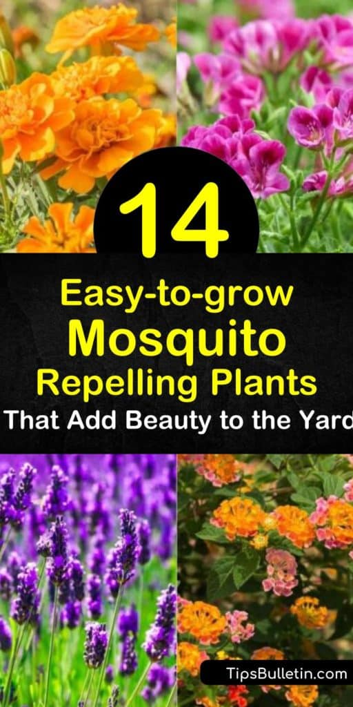 Discover how to use plants as a mosquito repellent in the yard. If you prefer not using commercial insect repellents, keep mosquitoes away with mosquito-repelling plants such as rosemary, lemon balm, marigolds, and geraniums. #mosquitorepellingplants #plants #repel #mosquitoes