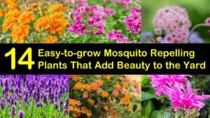 Easy to Grow Mosquito Repelling Plants titleimg1